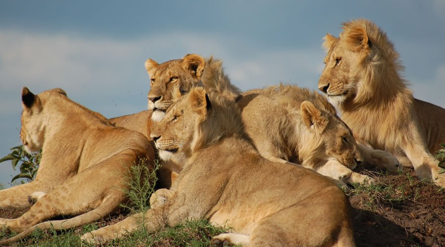 African Lion - African Animals